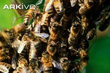 Honey-bees-swarming