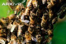 Honey-bees-swarming